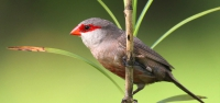021 Common Waxbill