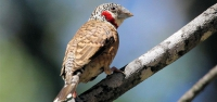 013 Cut-throat Finch