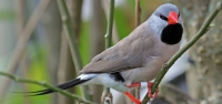 036 Long-tailed Grassfinch