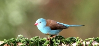 029 Blue-capped Waxbill