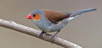 024 Orange-cheeked Waxbill