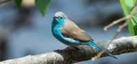 028 Blue-breasted Waxbill