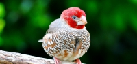 014 Red-headed Finch