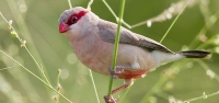 023 Red-eared Waxbill