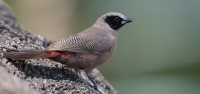 026 East-African Black-cheeked Waxbill