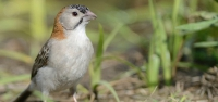 034 Speckle-fronted Weaver-finch