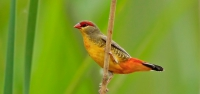 016 Orange-breasted Waxbill