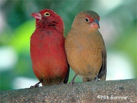 050 Red-billed Firefinch