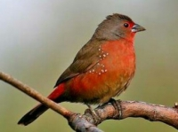 052 African (Blue-billed) Firefinch