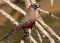 025 Black-cheeked Waxbill