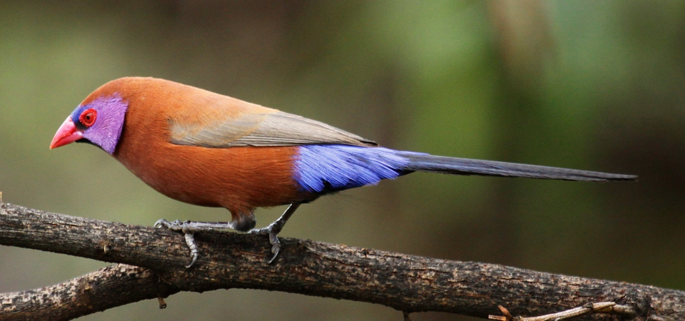 Breeding the Violet-eared Waxbill (Uraeginthus granatinus)  on the South African Highveld.